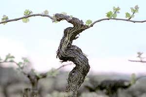 Grapevine resveratrol